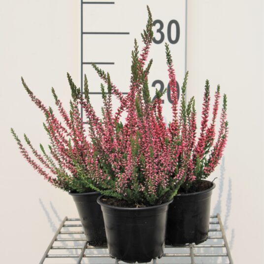 Calluna vulgaris rood/rouge