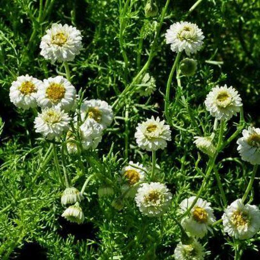 Chamaemelum nob. 'Ligulosum'