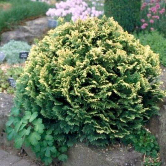 Chamaecyparis l. 'Pygmaea Argentea'