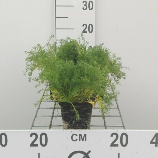 Chamaemelum nobile (=anthemis nobilis)