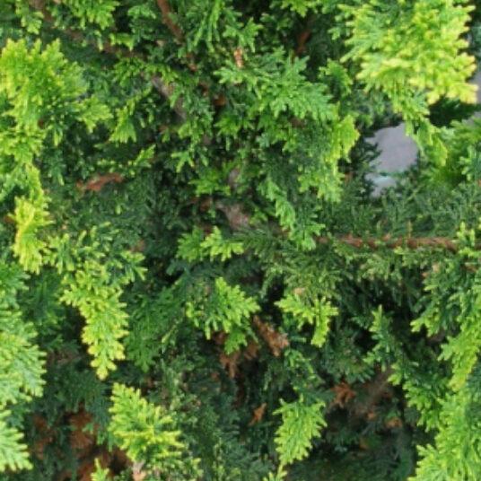 Chamaecyparis obt. 'Fernspray Gold'