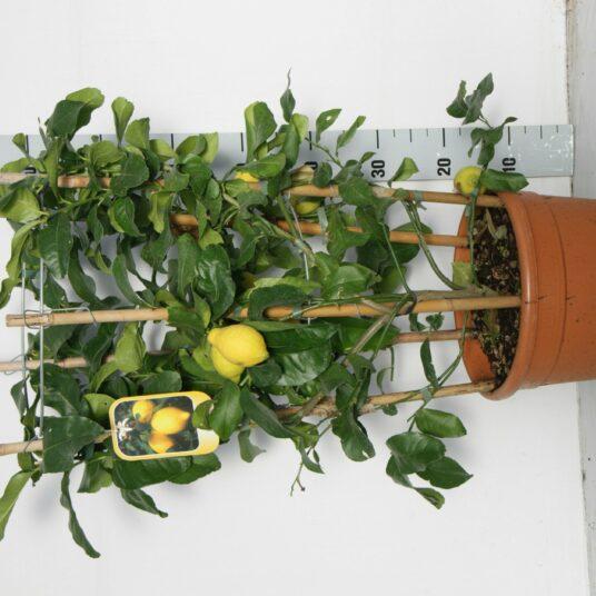 Citrus limon (citroen/citron)
