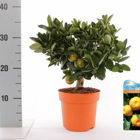 Citrus mitis (calamandina)