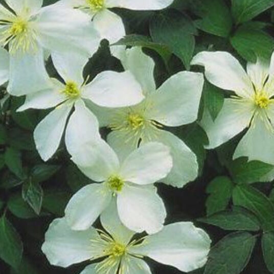 Clematis mont. 'Grandiflora'