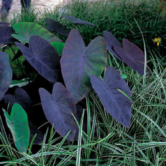 Colocasia 'Black Magic'
