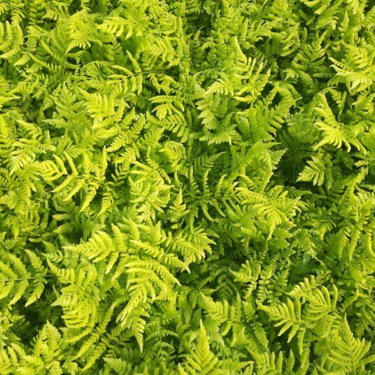 Dryopteris dilatata (= austriaca)