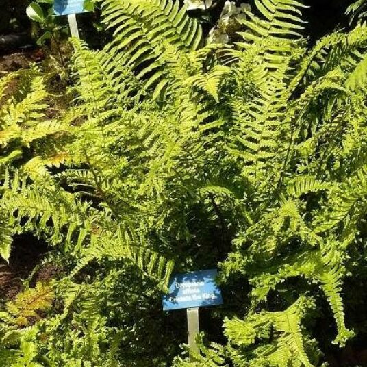 Dryopteris aff. 'Cristata' (= aff. 'the king')