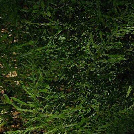 Dryopteris f.-m. 'Lin. Polydactyl'