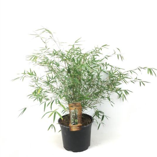 Fargesia angustissima