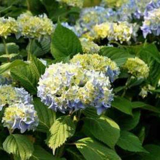 Hydrangea macr. blauw/bleu