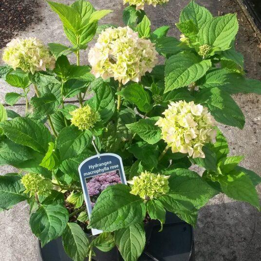 Hydrangea macr. roze/rose