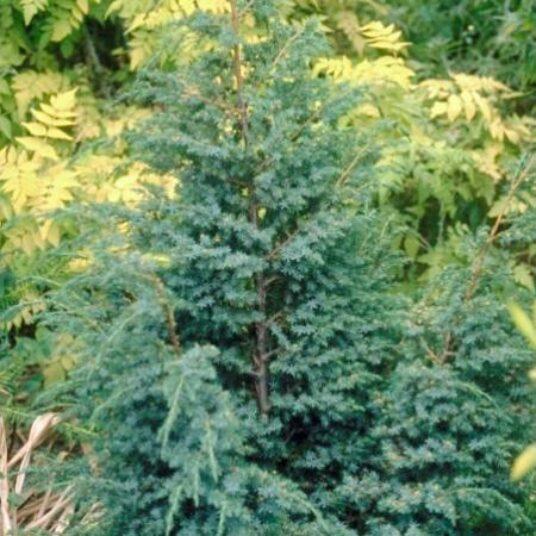 Juniperus chin. 'Blue Alps'