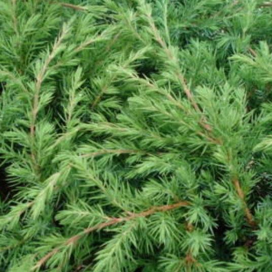 Juniperus conf. 'Blue Pacific'
