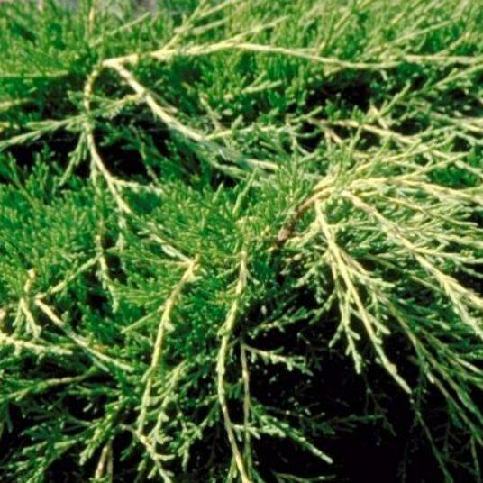 Juniperus pfitz. 'Old Gold'