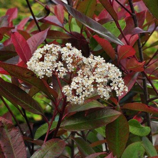 Photinia fras. 'Red Robin'