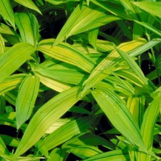 Pleioblastus auricomus (= viridistriatus)