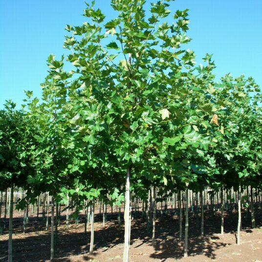 Platanus hispanica (=acerifolia)