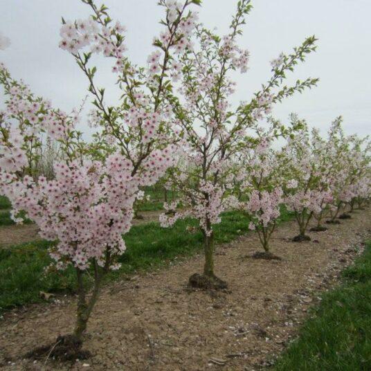 Prunus hybr. 'Accolade'