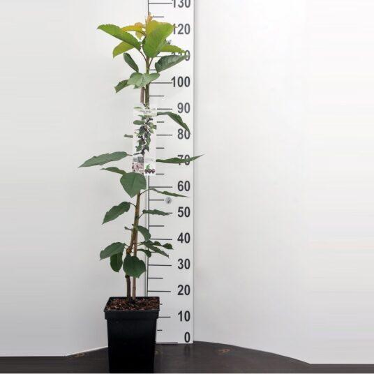 Prunus av. 'Sylvia'