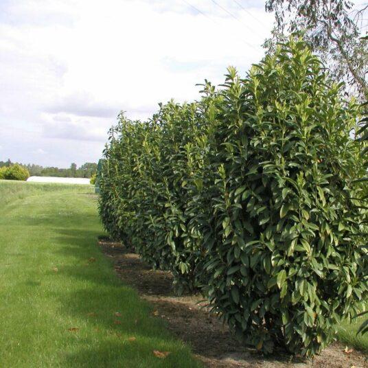 Prunus laur. 'Genolia'®