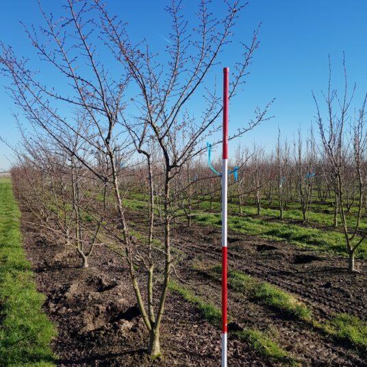 Prunus subh. 'Autumnalis Rosea'