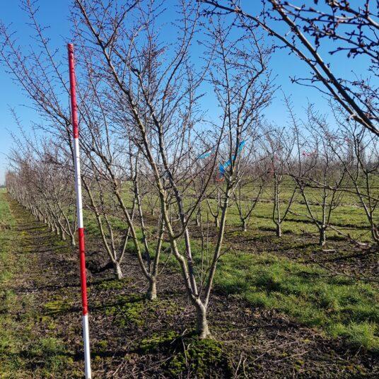 Prunus subh. 'Autumnalis'