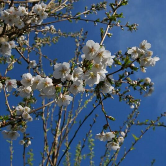 Prunus hybr. 'Umineko'