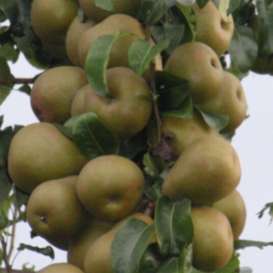 Pyrus comm. 'Beurre Hardy' (='gell. butterbirne')