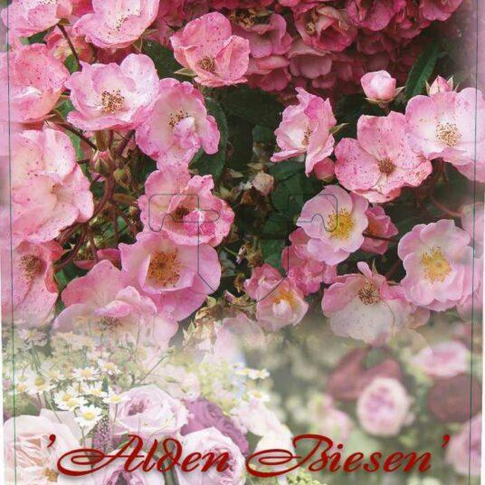Rosa 'Alden Biesen'®