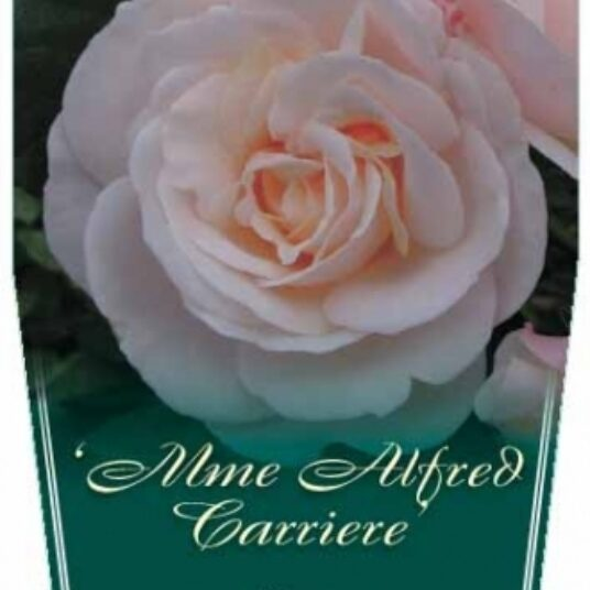 Rosa 'Alfred Carrière' (='mme_alfred carriere')