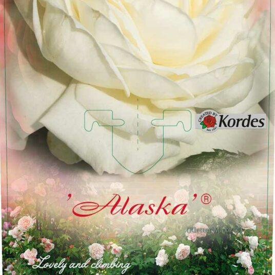Rosa 'Alaska'® = 'future'®
