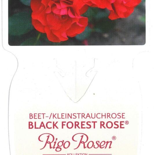 Rosa 'Black Forest Rose'® adr 2010