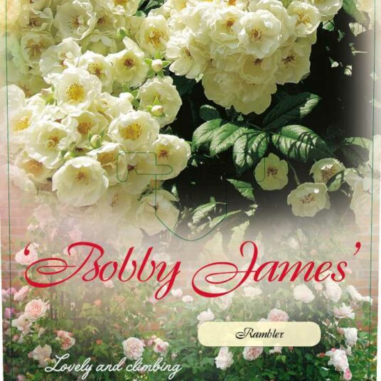 Rosa 'Bobbie James'
