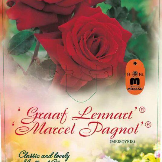 Rosa 'Graaf Lennart'® (= 'marc pagnol/meisoyris'®)