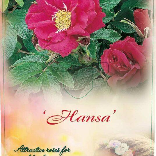Rosa 'Hansa'