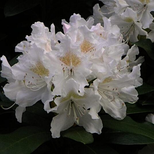 Rhodo (caucas.) 'Cunningham's White'