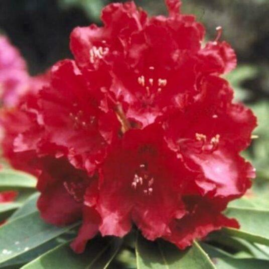 Rhodo (arbor.) 'Wilgen's Ruby'