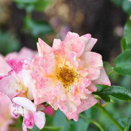 Rosa 'Aprikola'® adr 2001 (='kororbe'®)