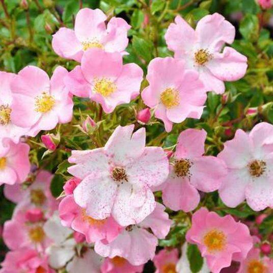 Rosa 'Fortuna'® adr 2002 (= 'kortuna/koratomi'®)