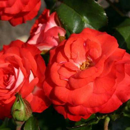 Rosa 'Pl. & Blomen'® adr 2009 (='stad nieuwpoort')