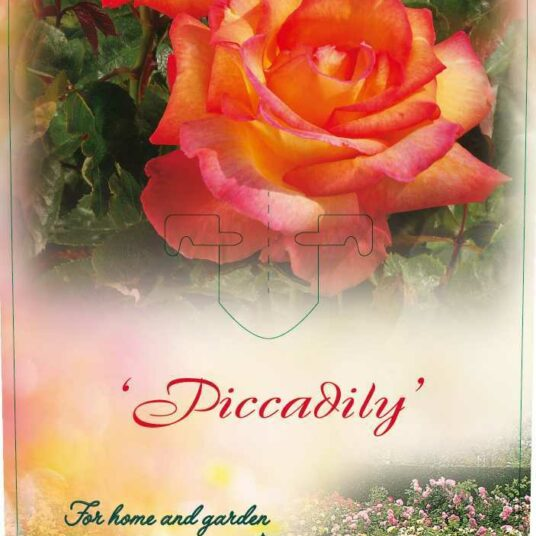 Rosa 'Piccadilly'® (= 'macar'®)