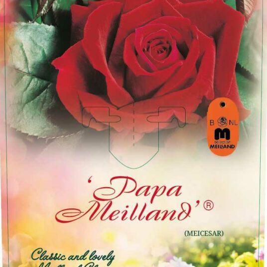 Rosa 'Papa Meilland'® (= 'meicesar'®)