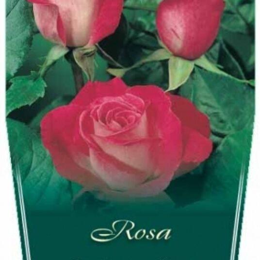 Rosa 'Rose Gaujard' (= 'gaumo')