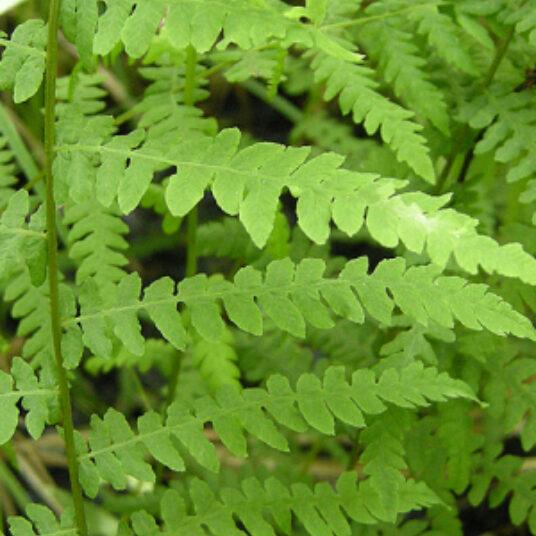 Thelypteris palustris (= dryopteris pal.)