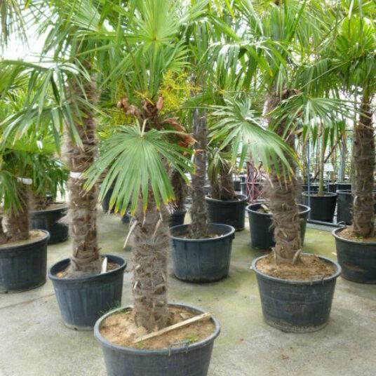 Trachycarpus fortunei (=chamaerops exelsa)