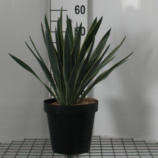 Yucca glor. 'Variegata'