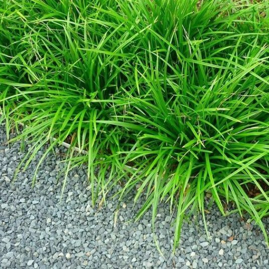 Carex morr. 'Irish Green'