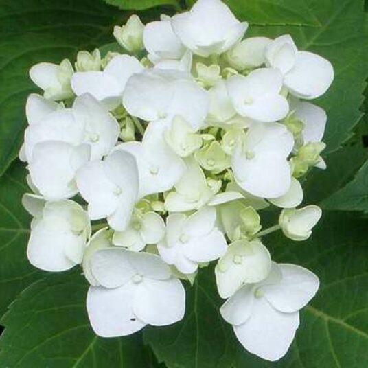 Hydrangea macr. wit/blanc