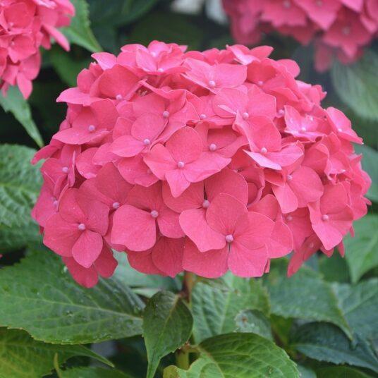Hydrangea macr. rood/rouge