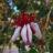 Acca sellowiana (=feijoa sellowiana)